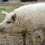 Spesis babi berbulu.