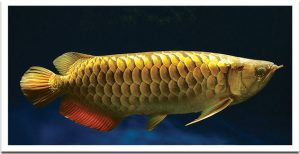 kelisa, ikan kelisa, fish gold, kelisa emas, ikan arowarna , ikan emas , ikan kelisa yang paling mahal
