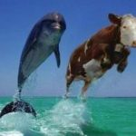 Lembu berenang??