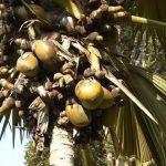 Pokok kelapa laut, asal-usul dan ciri-cirinya khas.
