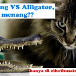 Kucing lawan Alligator, sapa menang?