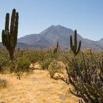 Pokok Kaktus, nama saintifik, ciri-ciri khas, perubatan dan fengshui kepercayaan orang cina