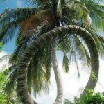 Pokok kelapa unik!!