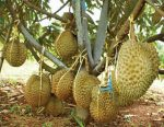 durian, pokok durian, durian hybrid, pokok durian monthong, beli pokok durian monthong